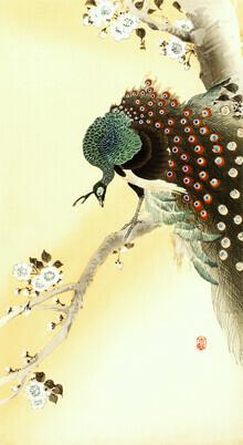Japanese Vintage Art, Peacock on a cherry blossom tree by Ohara Koson (Germany, Europe)