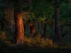 Felix Wesch, Kiefernwald bei Sonnenaufgang (Deutschland, Europa)
