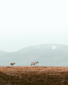 Daniel Öberg, Reindeers in the mountains (Sweden, Europe)