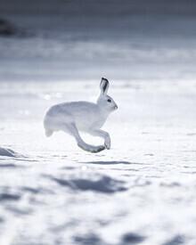 Daniel Öberg, Mountain Hare (Sweden, Europe)