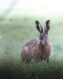 Daniel Öberg, Curious hare (Sweden, Europe)