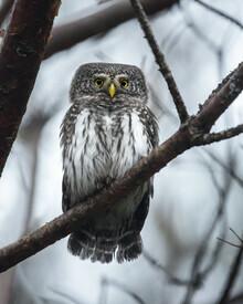 Daniel Öberg, Pygmy Owl (Sweden, Europe)
