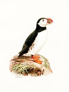 Vintage Nature Graphics, Vintage Illustration Atlantischer Papageientaucher (Deutschland, Europa)