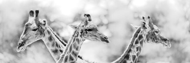 Dennis Wehrmann, Giraffes (Botswana, Africa)