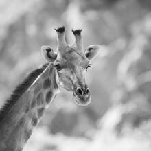 Dennis Wehrmann, Giraffe (Namibia, Africa)