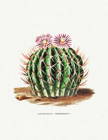 Vintage Nature Graphics, Echinocactus Coptonogonus (Frankreich, Europa)