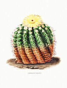 Vintage Nature Graphics, Echinocactus Erinaceus (Deutschland, Europa)