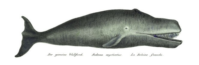 Vintage Nature Graphics, Bowhead Whale (Netherlands, Europe)