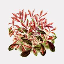 Vintage Nature Graphics, Rote und grüne Blätter (Deutschland, Europa)