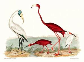 Vintage Nature Graphics, Holzibis und scharlachroter Flamingo (Vereinigte Staaten, Nordamerika)
