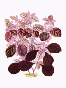 Vintage Nature Graphics, Rosa-grüne Pflanze (Deutschland, Europa)
