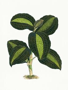Vintage Nature Graphics, Grüne Vintage-Pflanze (Deutschland, Europa)