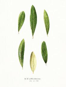 Vintage Nature Graphics, Olea Europaea (Vereinigte Staaten, Nordamerika)