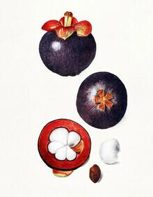 Vintage Nature Graphics, Mangostanen (Vereinigte Staaten, Nordamerika)