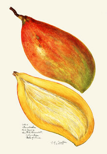 Vintage Nature Graphics, Mangos (Vereinigte Staaten, Nordamerika)