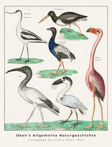 Vintage Nature Graphics, Säbelschnäbler und Austernfischer (Deutschland, Europa)