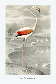 Vintage Nature Graphics, Le Flammant (Frankreich, Europa)