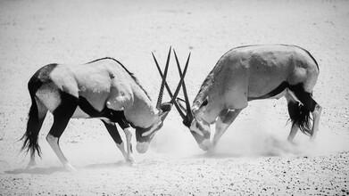 Dennis Wehrmann, Stattliche um den Ruhm kämpfende Oryx (Namibia, Afrika)