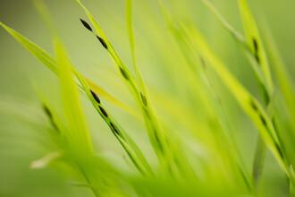 Nadja Jacke, Grass with seeds (Germany, Europe)