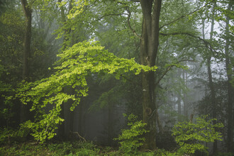 Nadja Jacke, Fog in the Teutoburg Forest (Germany, Europe)