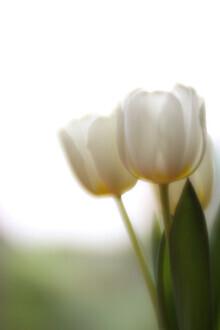 Steffi Louis, tulips (Deutschland, Europa)