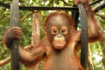 Sponsorship for baby orangutan Miko
